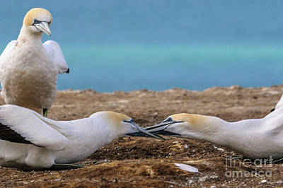 Photograph - Gannets 3 by Werner Padarin