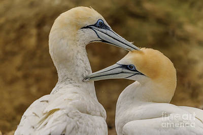 Photograph - Gannets 4 by Werner Padarin