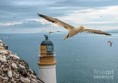 Photograph - Gannets At Bass Rock Lighthouse by Brian Tarr