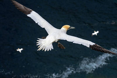 Photograph - Gannets Soaring Over Atlantic Ocean by Arterra Picture Library