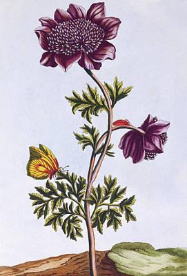 Garden Anenome  Windflower Art Print