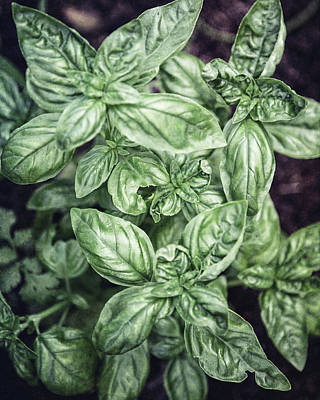Photograph - Garden Basil by Lisa Russo