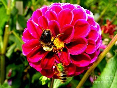 Photograph - Garden Bees by Ed Weidman