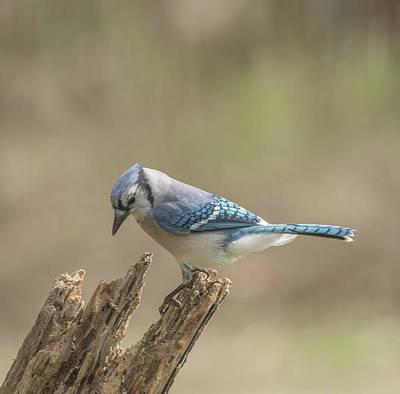 Photograph - Garden Blue Jay by Bruce Pritchett