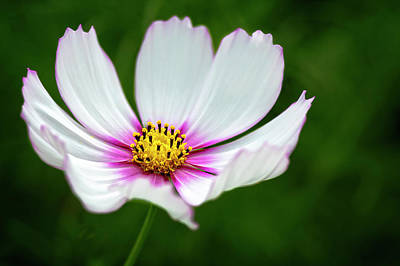 Photograph - Garden Cosmos by Cyndy Doty