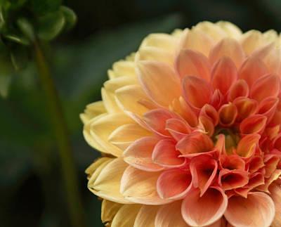 Pyrography - Garden Dahlia by Arlene Carmel