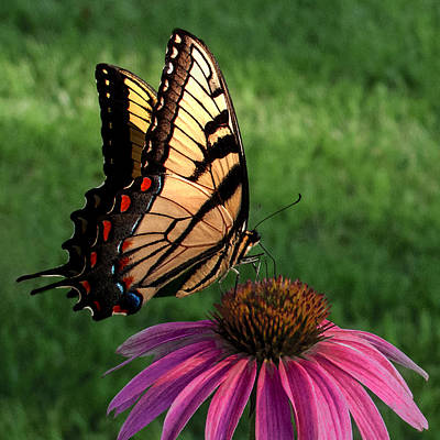 Swallowtail Photograph - Garden Dancer by Don Spenner