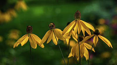 Coneflowers Photograph - Garden Dancers by Don Spenner