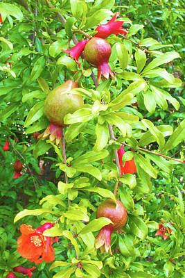 Photograph - Garden Fresh Pomegranate by Ram Vasudev