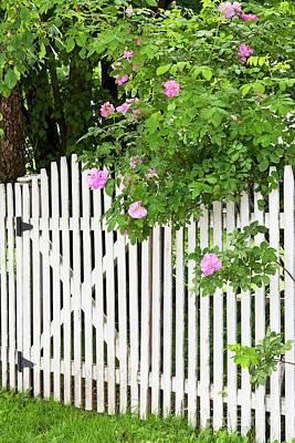 Photograph - Garden Gate Roses by Alan L Graham