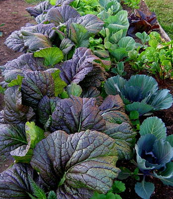 Photograph - Garden Greens by Larry Bacon