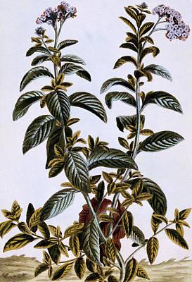 Garden Heliotrope Print by Pierre-Joseph Buchoz