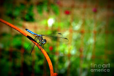 Photograph - Blue Dragonfly by Eunice Miller