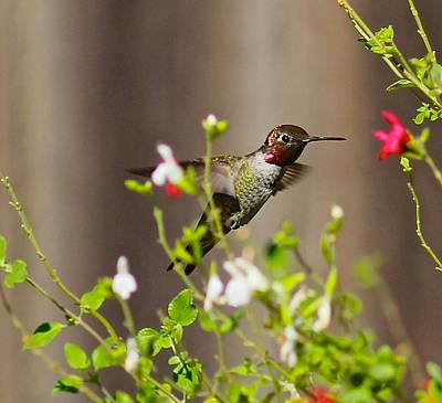 Photograph - Garden Hummingbird by Liz Vernand