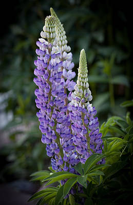 Photograph - Garden Lupine by Fran Riley