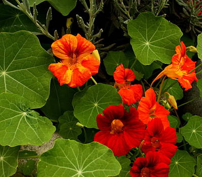Photograph - Garden Nasturtium by Dreamweaver Gallery