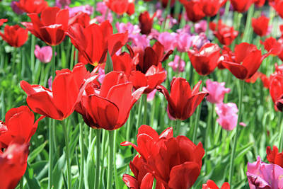 Photograph - Garden Of Red Tulips by Angela Murdock