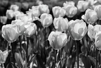 Photograph - Garden Of Red Tulips In Monochrome by SR Green