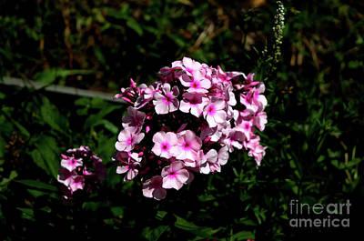 Photograph - Garden Phlox by Michelle Meenawong