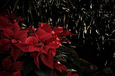 Photograph - Garden Poinsettias by Photography by Tiwago