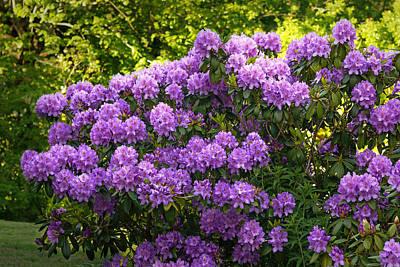 Photograph - Garden Rhododendron by Lutz Baar