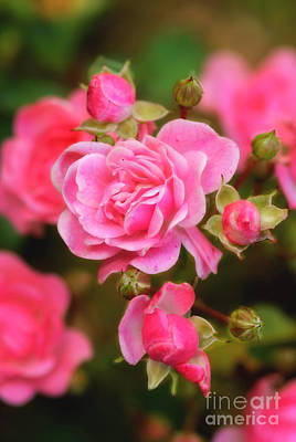 Art Print featuring the photograph Garden Rose by Alana Ranney