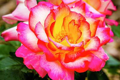 Photograph - Garden Rose Beauty by Teri Virbickis