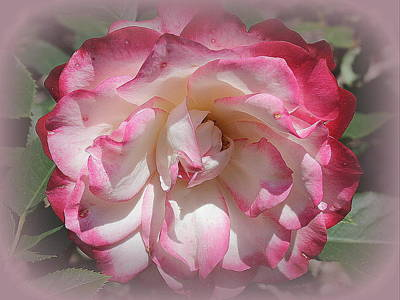 Photograph - Garden Rose In Pink And  White by Dora Sofia Caputo Photographic Design and Fine Art