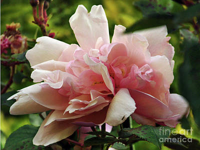 Photograph - Garden Rose by Kim Tran