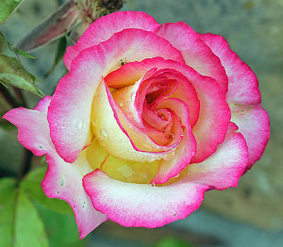 Photograph - Garden Rose by Tony Murtagh