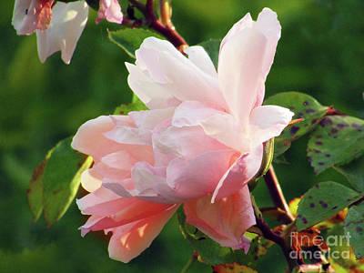 Photograph - Garden Roses #2 by Kim Tran