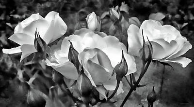 Photograph - Garden Roses Black And White by Jennie Marie Schell