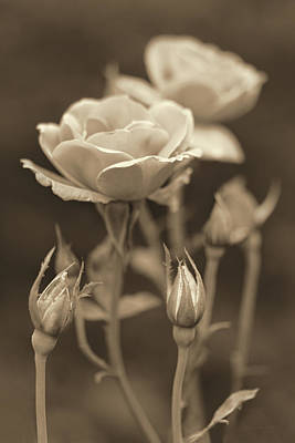 Photograph - Garden Roses Sepia by Jennie Marie Schell