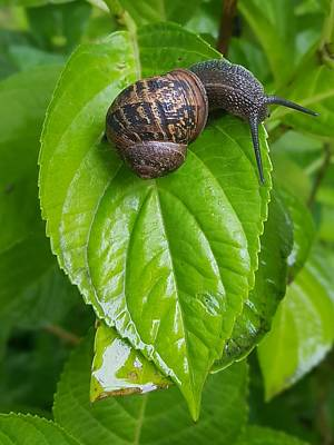 Photograph - Garden Snail by Colin Drysdale