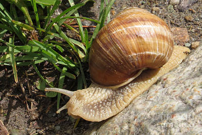 Photograph - Garden Snail by Frank Townsley