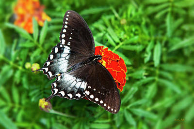 Photograph - Garden Spice Butterfly by Christina Rollo