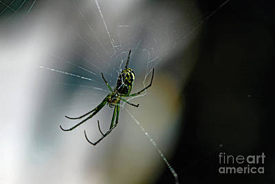 Photograph - Garden Spider II by Mary Haber