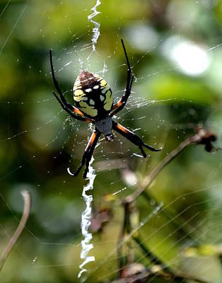 Photograph - Garden Spider by Kimberly-Ann Talbert