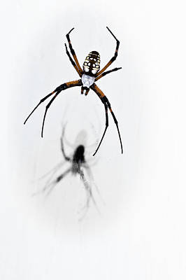 Photograph - Garden Spider With Shadow by Tamyra Ayles