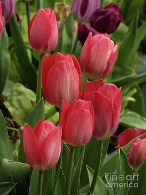 Photograph - Garden Tulips 3 by Kim Tran