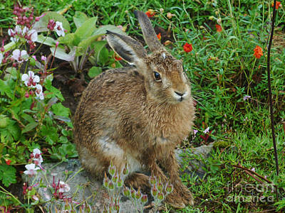 Photograph - Garden Visitor - Brown Hare by Phil Banks