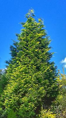 Photograph - Garden Xmas Fir Tree by Joan-Violet Stretch