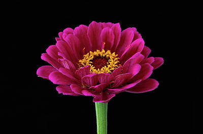 Photograph - Garden Zinnia by Jim Zablotny