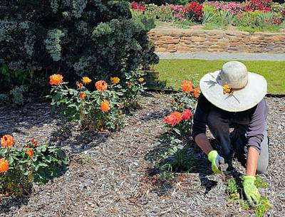 Photograph - Gardener Pulling Weeds  by Janette Boyd