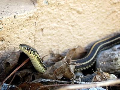 Photograph - Gardener Snake by Kyle J West