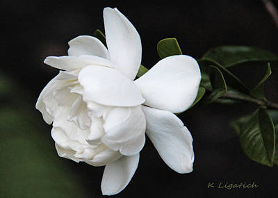 Photograph - Gardenia - I by Kerri Ligatich