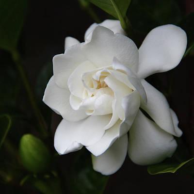 Gardenia Photograph - Gardenia - II by Kerri Ligatich