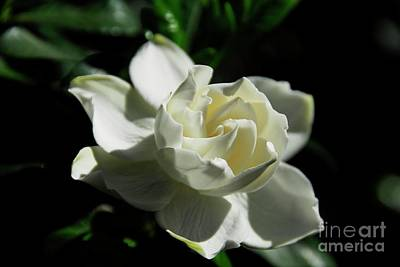 Photograph - Gardenia 1 by Cindy Manero