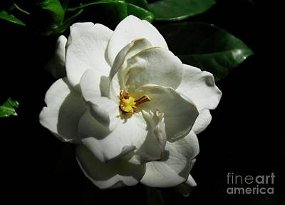 Photograph - Gardenia 2 by Cindy Manero