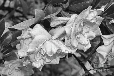 Photograph - Gardenia After Rain by Olga Hamilton